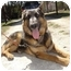 Photo 1 - German Shepherd Dog Dog for adoption in Dripping Springs, Texas - Tuesday