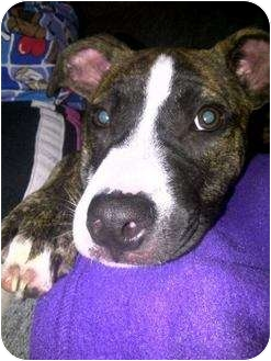 Pit Bull Terrier/Boxer Mix Dog for adoption in Crown Point, Indiana - Starke