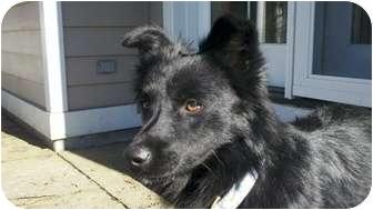 Australian Kelpie/Labrador Retriever Mix Dog for adoption in Naugatuck, Connecticut - Brianna