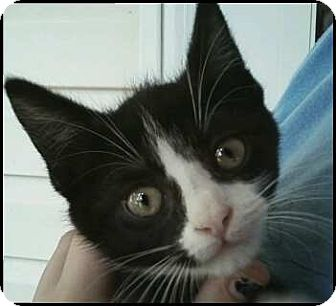 Domestic Shorthair Kitten for adoption in Richmond, Virginia - Sylvester