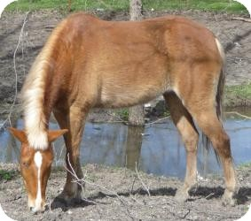 Pony - of America/Haflinger Mix for adoption in Sugar Land, Texas - Paloma