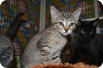 Domestic Shorthair Kitten for adoption in Edwardsville, Illinois - Miles