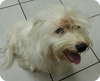 Maltese Puppy for adoption in Oswego, Illinois - I'M ADOPTED Owen Paull
