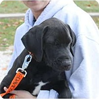 Adopt A Pet :: Atticus - ARDEN, NC