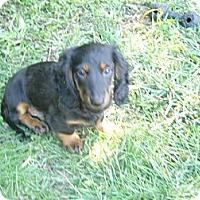 Adopt A Pet :: Minor - San Jose, CA