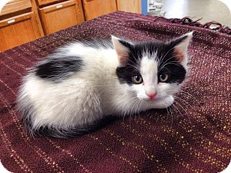 Domestic Shorthair Kitten for adoption in Franklin, Indiana - Scurry