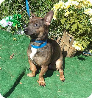 Chihuahua Mix Dog for adoption in Marietta, Georgia - JEREMY (R)