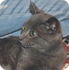 Russian Blue Kitten for adoption in Lombard, Illinois - Bella