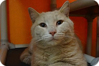 Domestic Shorthair Cat for adoption in Elyria, Ohio - Thomas