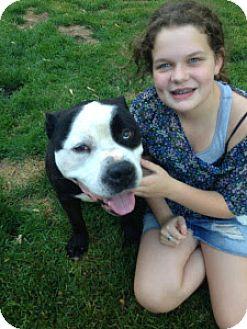 American Bulldog/American Staffordshire Terrier Mix Dog for adoption in Dixon, Illinois - Bleu (Courtesy Listing)