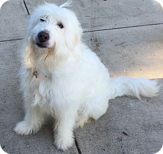 Great Pyrenees Mix Dog for adoption in Bloomington, Illinois - Bella ADOPTION PENDING