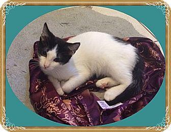 Domestic Shorthair Kitten for adoption in Mt. Prospect, Illinois - Jade
