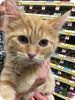 Domestic Longhair Kitten for adoption in Greensburg, Pennsylvania - Elley