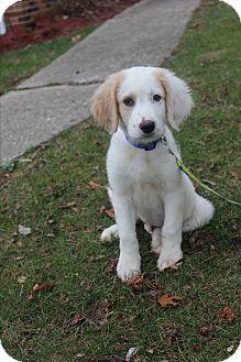 Golden Retriever Mix Puppy for adoption in New Oxford, Pennsylvania - AJ