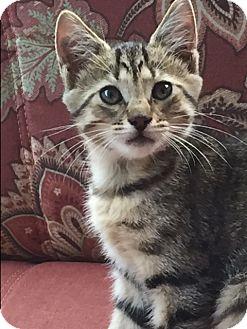American Bobtail Kitten for adoption in Hazard, Kentucky - Stripes