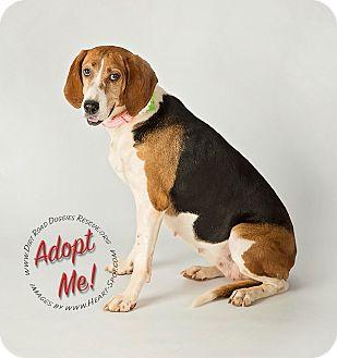 Treeing Walker Coonhound Mix Dog for adoption in Gillsville, Georgia - Sadie Mae