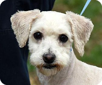 Poodle (Miniature) Mix Dog for adoption in New Haven, Connecticut - PHOEBE