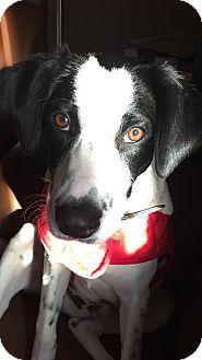 Pointer/Labrador Retriever Mix Puppy for adoption in Sagaponack, New York - Manning