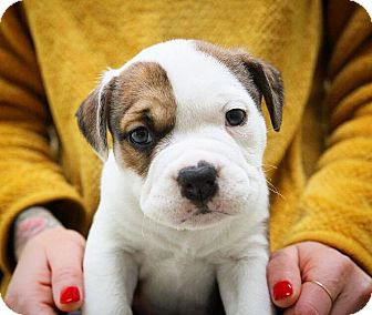 American Staffordshire Terrier/Bulldog Mix Puppy for adoption in Eugene, Oregon - Layla