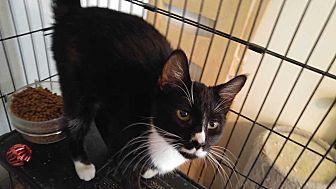 Domestic Shorthair Cat for adoption in Dallas, Texas - Ciara.  Stomatitis