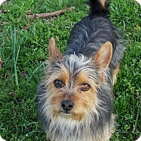 Adopt A Pet :: Billie Madison - Spring Valley, NY