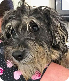Havanese Mix Dog for adoption in Thousand Oaks, California - Kylie