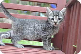 Domestic Shorthair Kitten for adoption in New Smyrna Beach, Florida - Tico - needy and adorable!