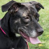 Adopt A Pet :: Chester Leigh - Cumberland, MD