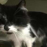 Domestic Mediumhair/Domestic Shorthair Mix Cat for adoption in Warren, Michigan - Elle (bonded w/Tia)