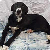 Adopt A Pet :: Pilot - Champaign, IL
