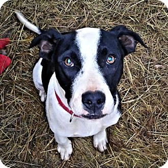 Labrador Retriever/Pit Bull Terrier Mix Dog for adoption in Rutherfordton, North Carolina - Winchester