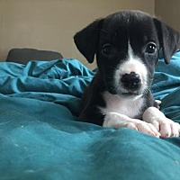 Adopt A Pet :: Eleven - Rochester, NY
