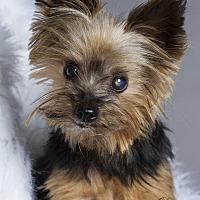 Adopt A Pet :: Louie - Baton Rouge, LA