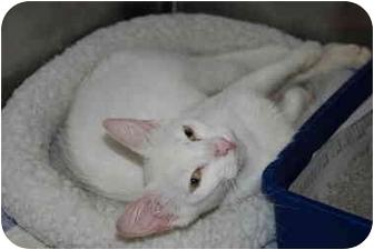 Domestic Shorthair Cat for adoption in Putnam Hall, Florida - PETSMART CATS