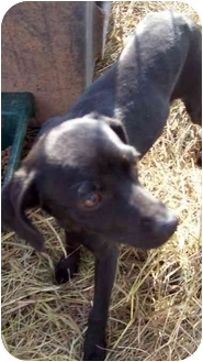 Feist/Jack Russell Terrier Mix Dog for adoption in Durbin, West Virginia - Amy~needs sponsored