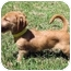 Photo 3 - Dachshund/Terrier (Unknown Type, Small) Mix Puppy for adoption in Mahwah, New Jersey - Marcy
