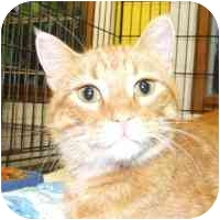 Domestic Shorthair Cat for adoption in Coleraine, Minnesota - Hal