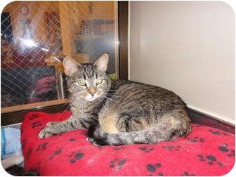 Domestic Shorthair Cat for adoption in Kingston, Washington - Morris