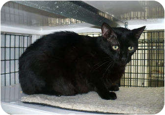 Domestic Shorthair Cat for adoption in Colmar, Pennsylvania - Nester