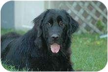 Newfoundland Dog for adoption in Caledon, Ontario - Maggie
