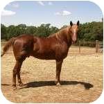 Quarterhorse Mix for adoption in El Dorado Hills, California - Moss