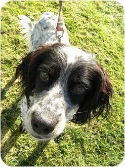 English Setter Dog for adoption in Salem, New Hampshire - HUNTER