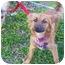 Photo 2 - Pomeranian/Chihuahua Mix Dog for adoption in Hesperus, Colorado - HALEY
