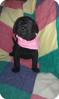 Labrador Retriever Mix Puppy for adoption in East Hartford, Connecticut - Sage