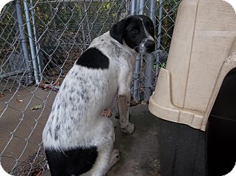 Pointer/Labrador Retriever Mix Dog for adoption in Henderson, North Carolina - Scarlett