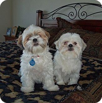 Shih Tzu Mix Dog for adoption in Denver, Colorado - Sugar Momma