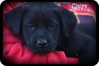 Labrador Retriever Mix Puppy for adoption in Cranford, New Jersey - Claire