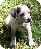 German Shorthaired Pointer/Hound (Unknown Type) Mix Puppy for adoption in Brattleboro, Vermont - Frodo