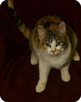 Domestic Shorthair Cat for adoption in San Andreas, California - Ariel