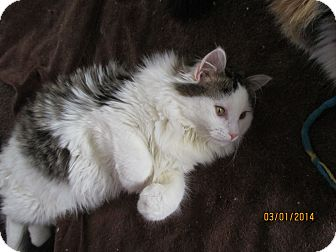 Domestic Longhair Cat for adoption in Cannon Falls, Minnesota - Benny
